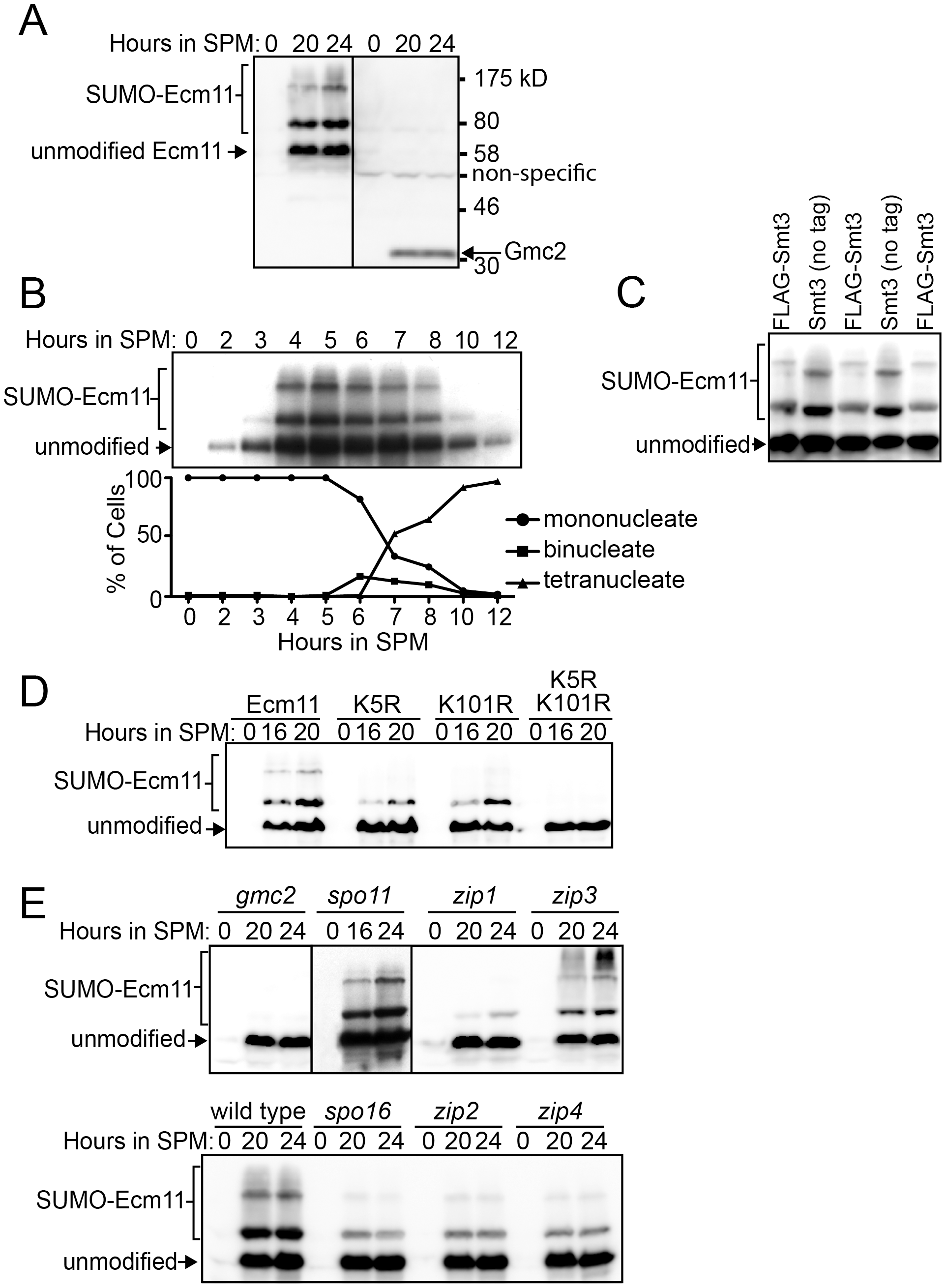 Ecm11 SUMOylation depends on Gmc2 and also partially on Zip1, Zip2, Zip4, and Spo16.