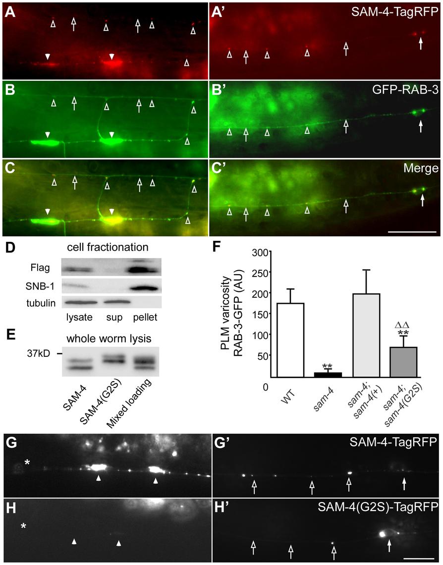 <i>sam-4</i> encodes a neuronally expressed protein SV associated protein.