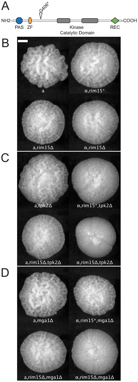 Synergistic epistatic effects of RIM15 mutations.