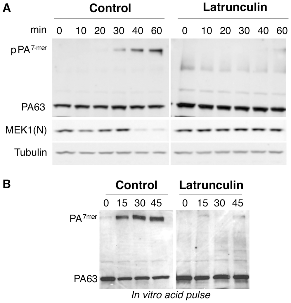 Latrunculin A prevents transport of PA to endosomes and subsequent cleavage of MEK1.