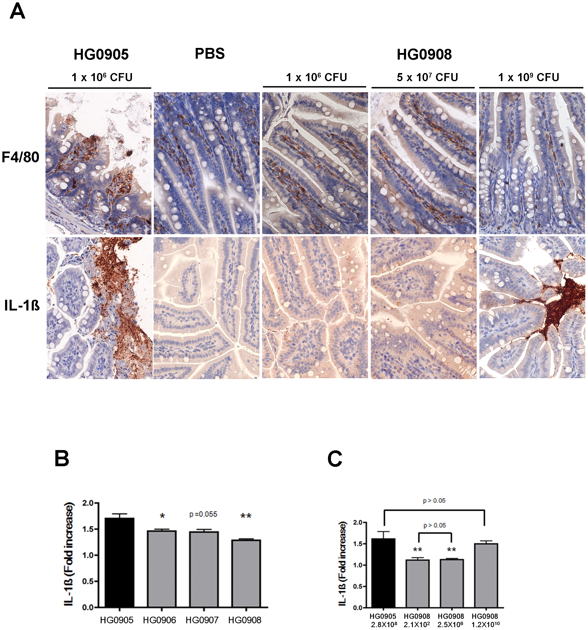 Comparison of HG0905 effect on villi, macrophage and IL-1ß expression to HG0908.