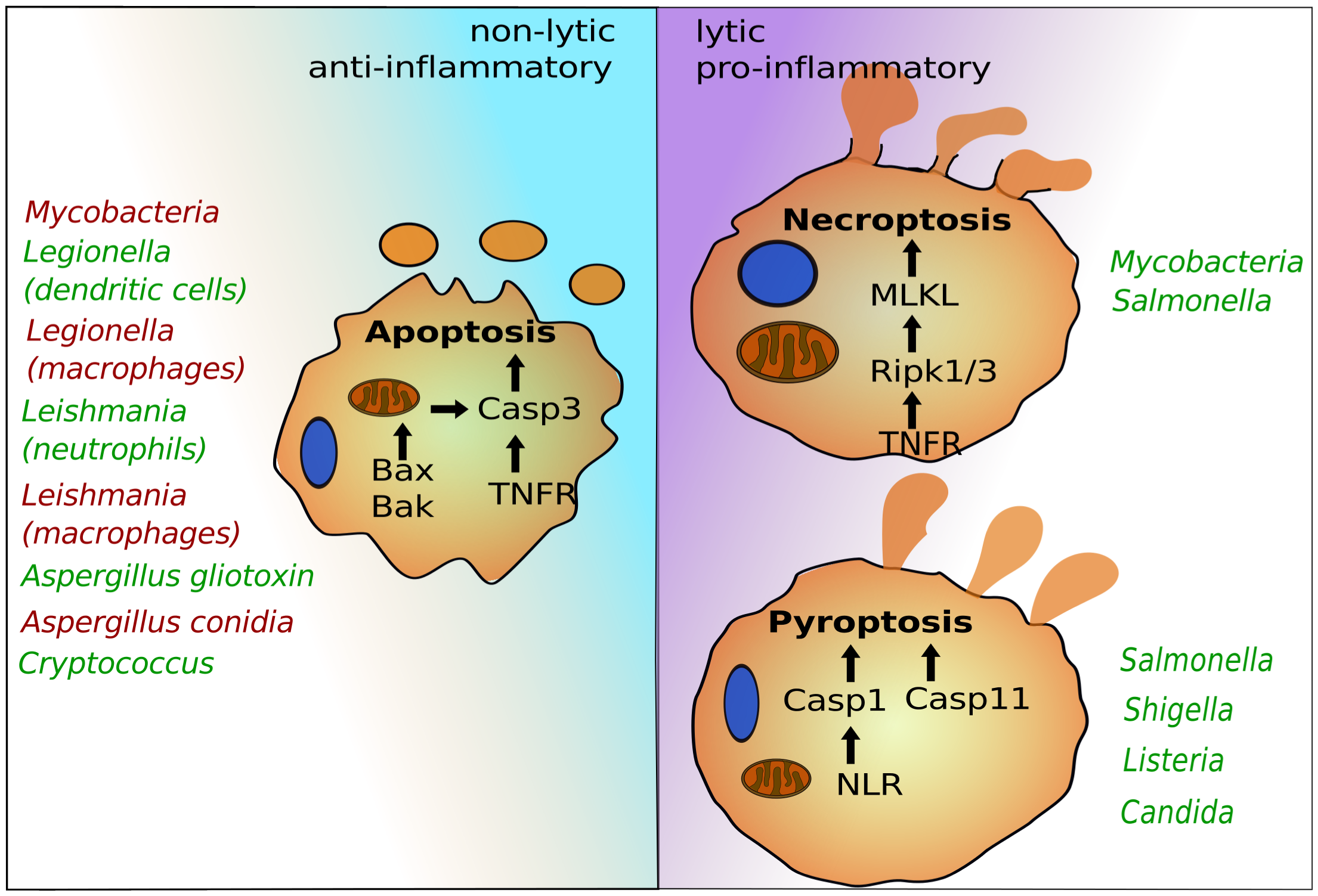 The programmed cell death pathways apoptosis, pyroptosis, and necroptosis play critical roles in egress of intracellular pathogens.