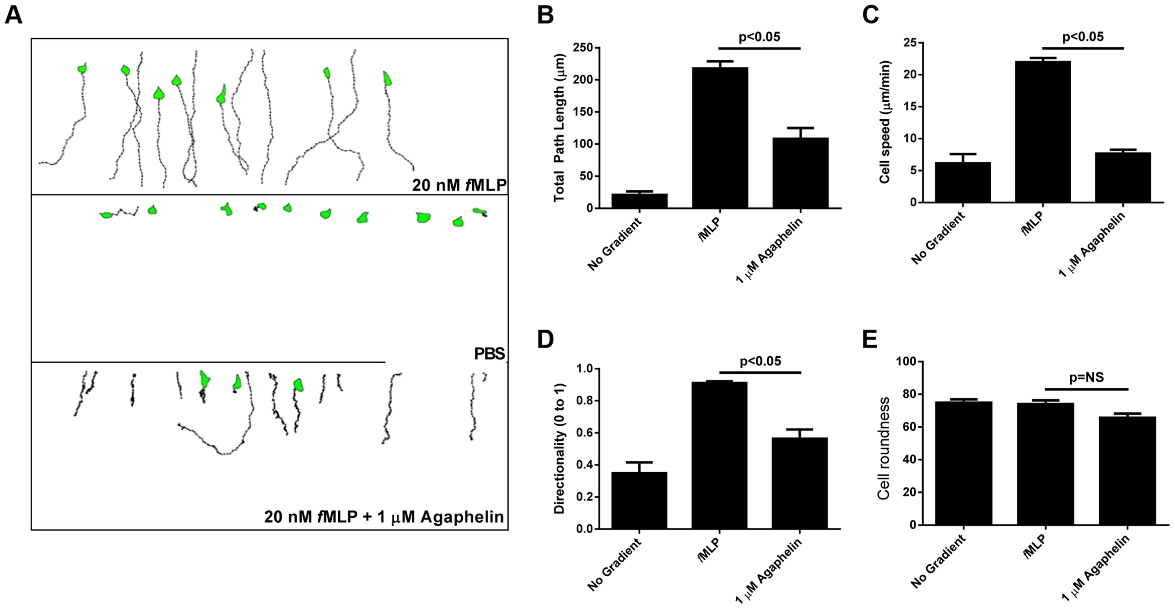Agaphelin inhibits neutrophil chemotaxis <i>in vitro</i>.