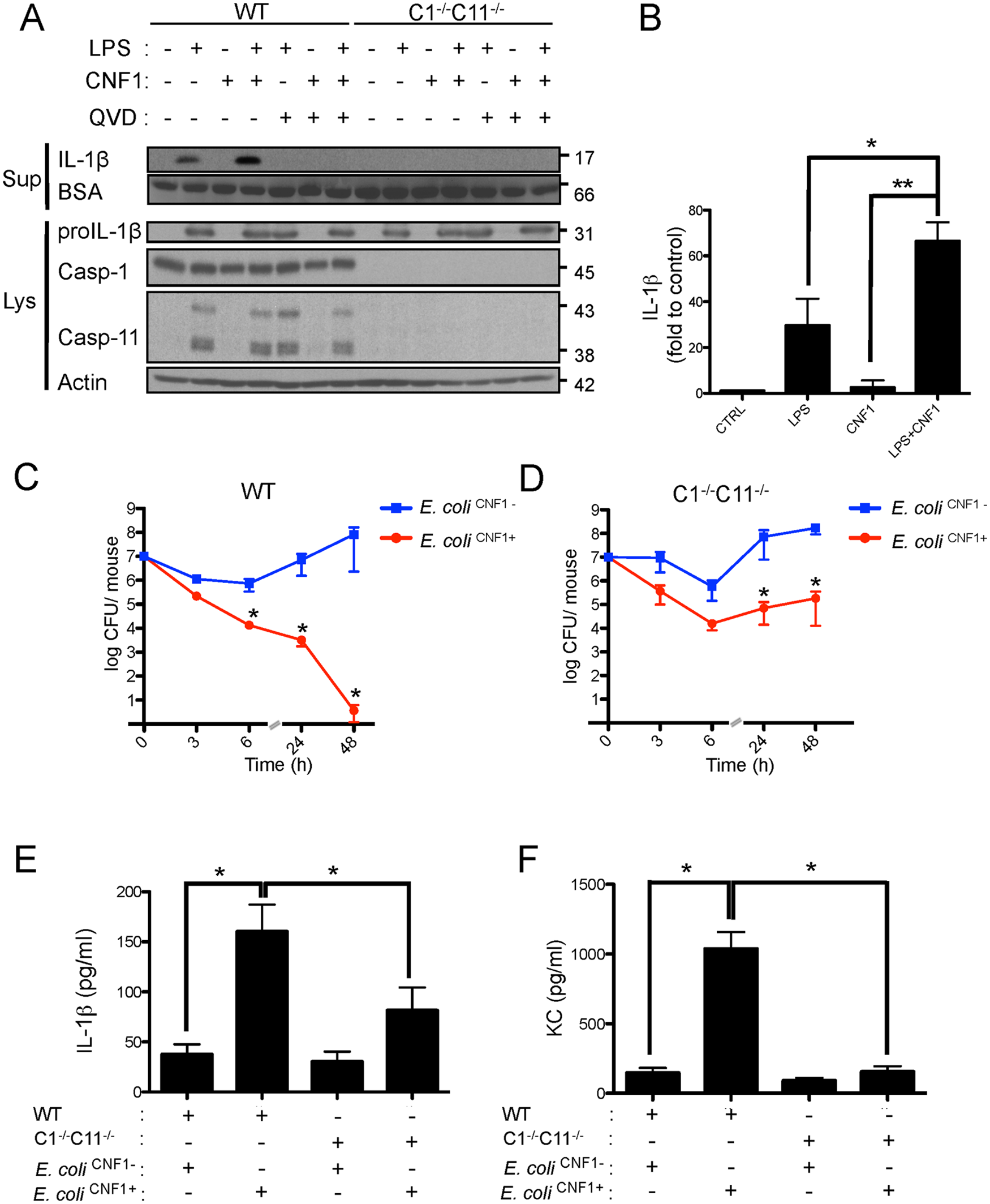 CNF1-triggered immunity requires inflammatory caspases.