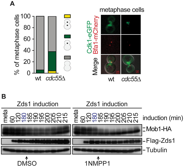 Cdk1– Clb2 inhibitory signal restrains MEN activation until anaphase.