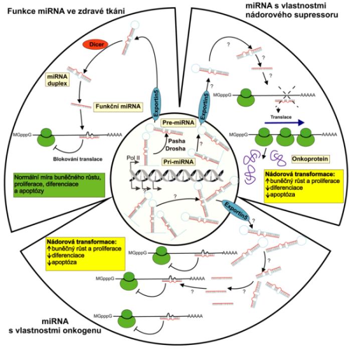 Biogeneze a možné biologické funkce miRNA Primární transkripty miRNA genů, pri-miRNA, dlouhé i několik kilobází, jsou v jádře zpracovávány RNázou III zvanou Drosha a dvouřetězcovou RNA vázajícím proteinem Pasha na přibližně 70 nukleotidů dlouhé pre-miRNA. Pre-miRNA vytvářejí nedokonalé vlásenkové struktury, které jsou exportovány do cytoplazmy transportním proteinem nazývaným Exportin 5 a jsou dále štěpeny RNázou III označovanou Dicer na finální miRNA duplexy dlouhé přibližně 22 bazí. Zatímco jedno z vláken miRNA duplexu je zapojeno do inhibice translace případně degradace cílové mRNA, druhé vlákno je ihned odbouráno. Obrázek schématicky znázorňuje regulační funkci miRNA za fyziologických podmínek a při nádorové transformaci buňky, kdy může působit jako onkogen nebo nádorový supresor.