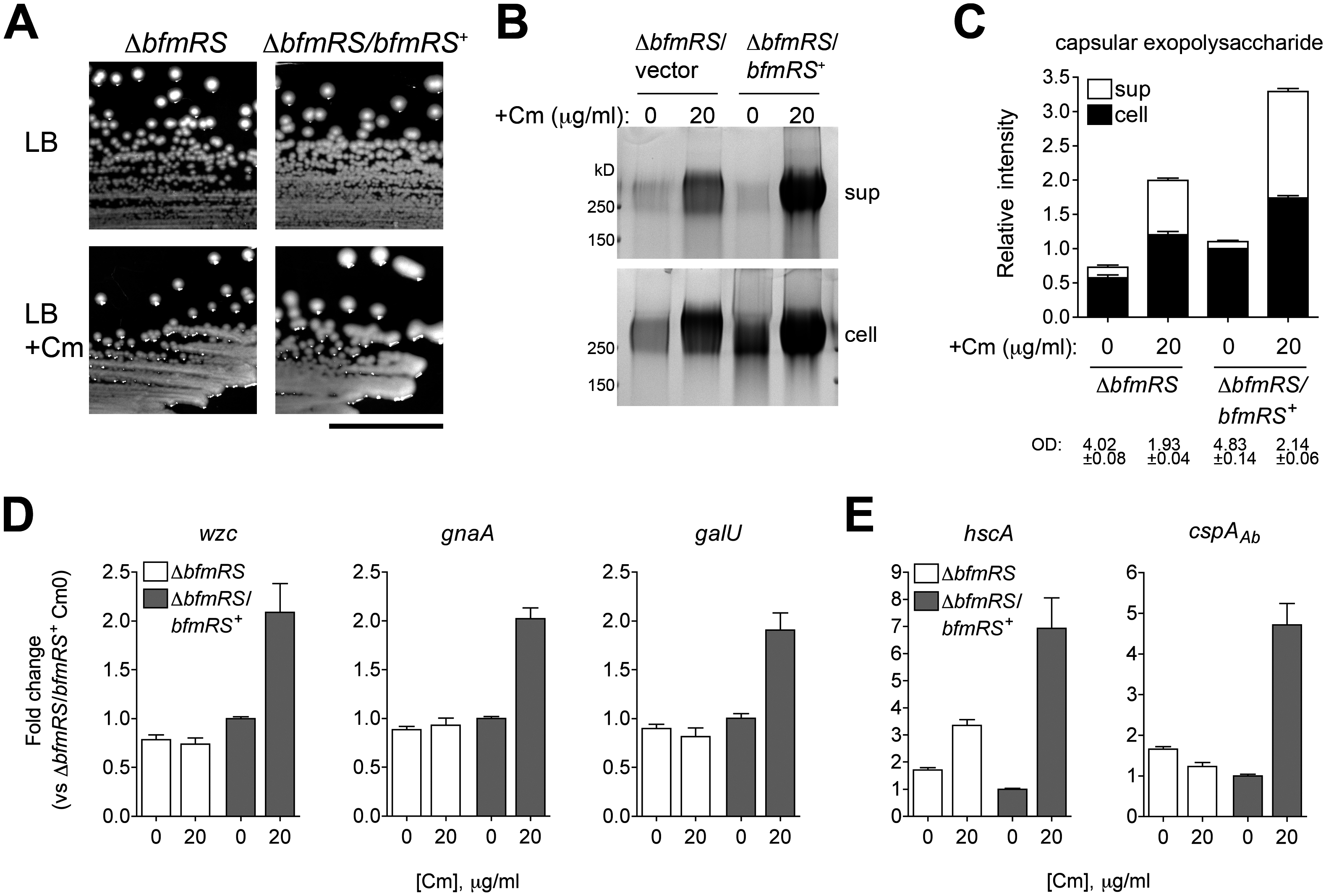 Transcriptional induction of K locus and cold shock gene expression by Cm involves BfmRS.