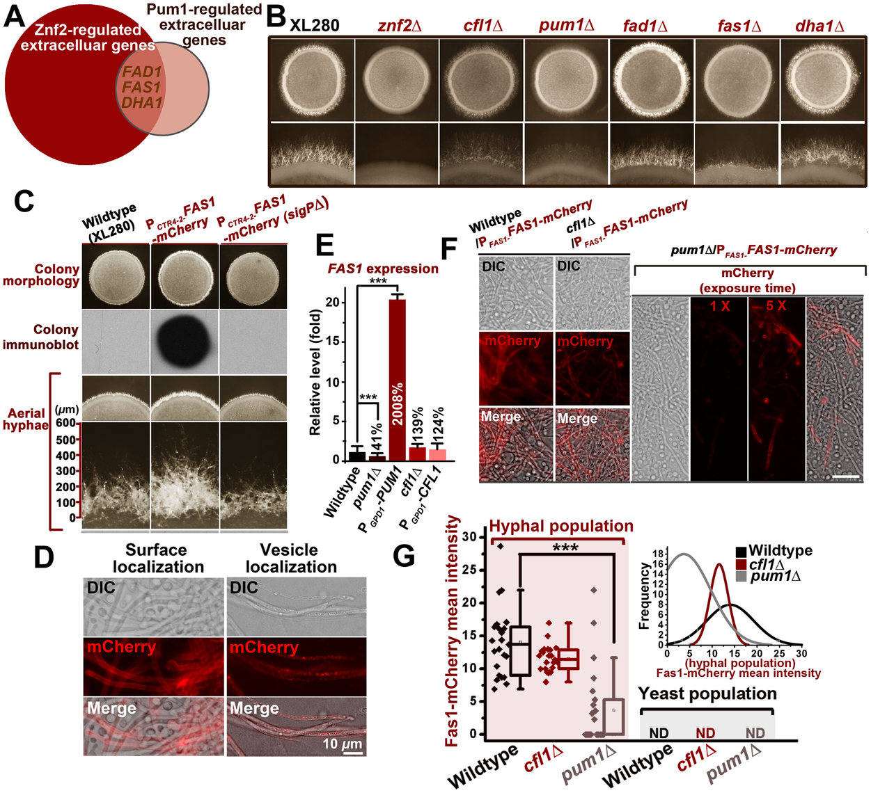 Pum1 directs hyphal initiation and extension partially through a novel hypha-specific extracellular protein Fas1.
