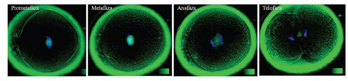 Priebeh 1. mitotického delenia embryí: Dvojité intravitálne farbenie a) chromatínu farbivom Hoechst 33342, b) deliace vretienko bolo vizualizované pomocou polarizačnej mikroskopie (Oosight, Research Instruments). Autor obrázkov D. Hlinka