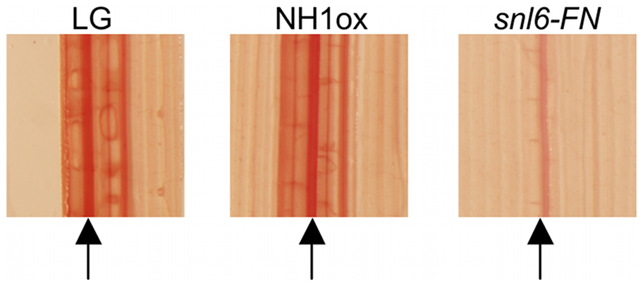 Characterization of the role of <i>Snl6</i> in the phenylpropanoid pathway.