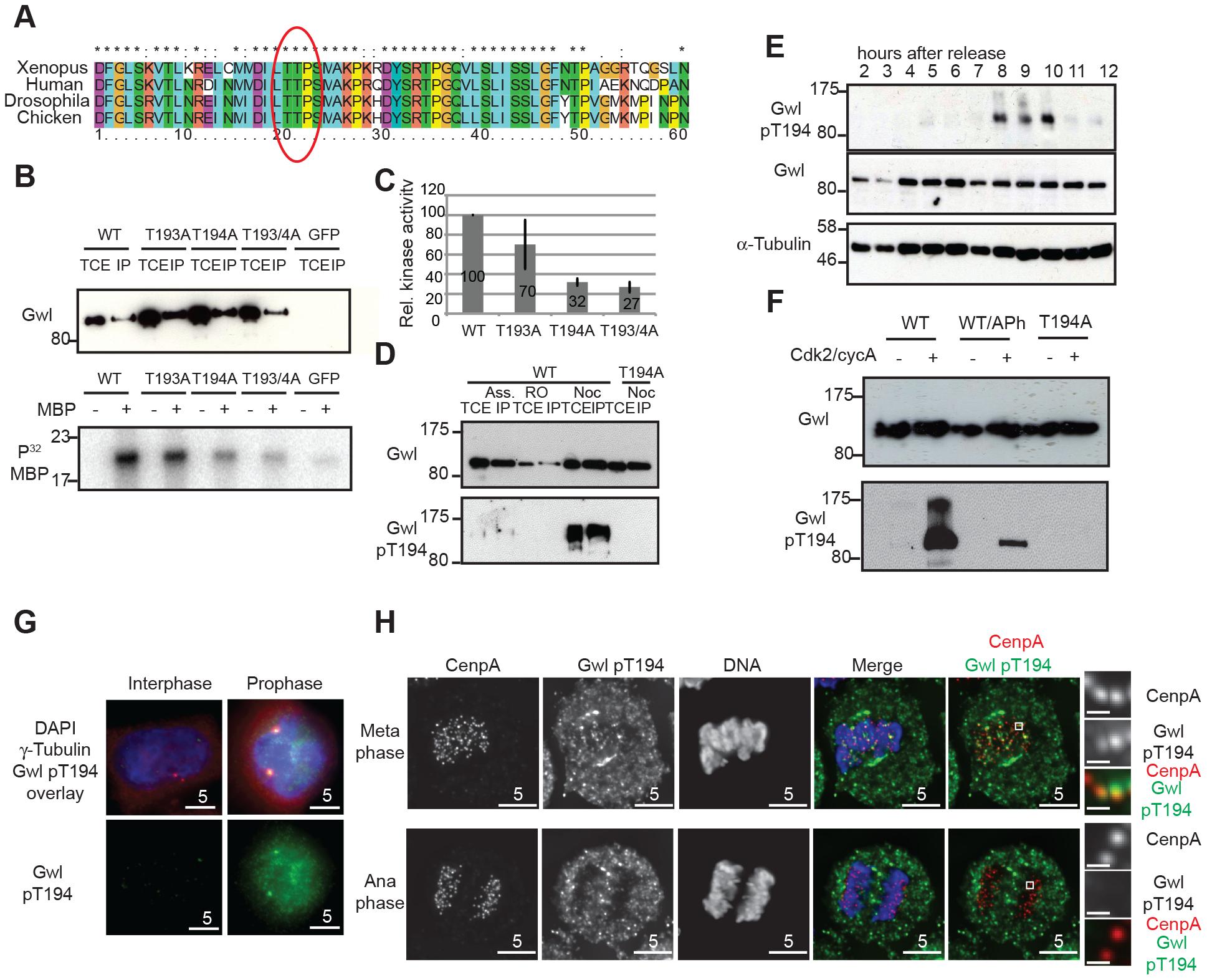 Gwl Thr194 is an essential Cdk1 phosphorylation site.