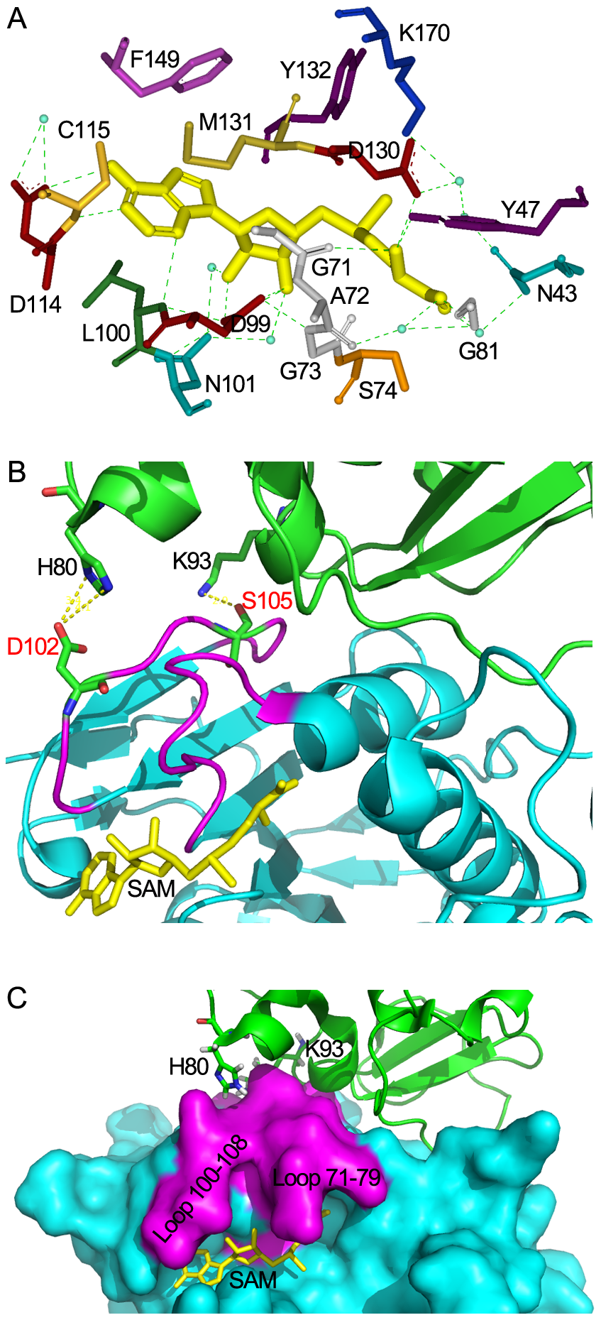Structural mechanisms of nsp10 in stimulating the SAM binding of nsp16.