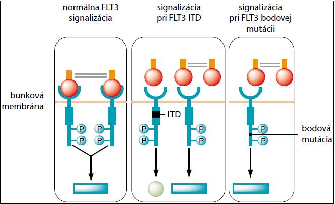 Signalizácia FLT3 – normálna, pri FLT3 ITD a pri FLT3 bodovej mutácii.