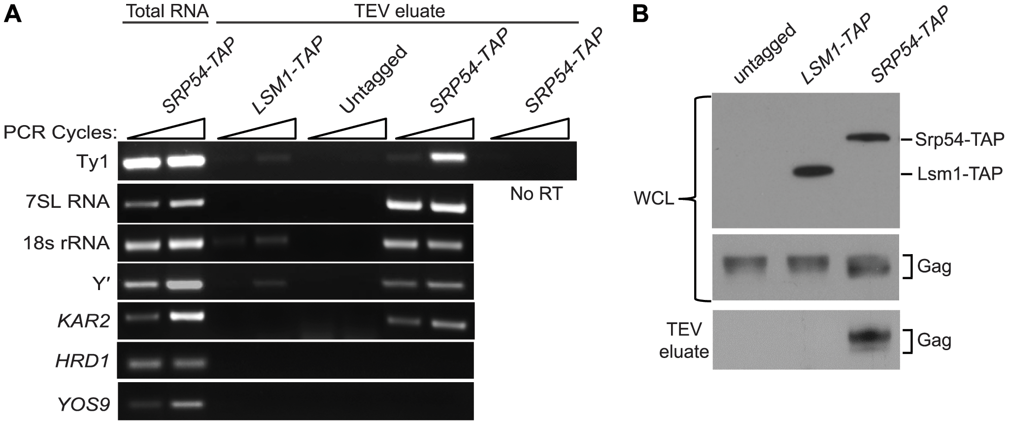 Ty1 RNA and Gag are enriched in affinity-purified SRP-RNC complexes.