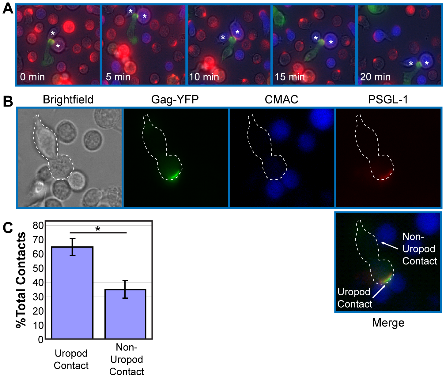 Infected polarized T cells form contacts with target cells via their uropods.