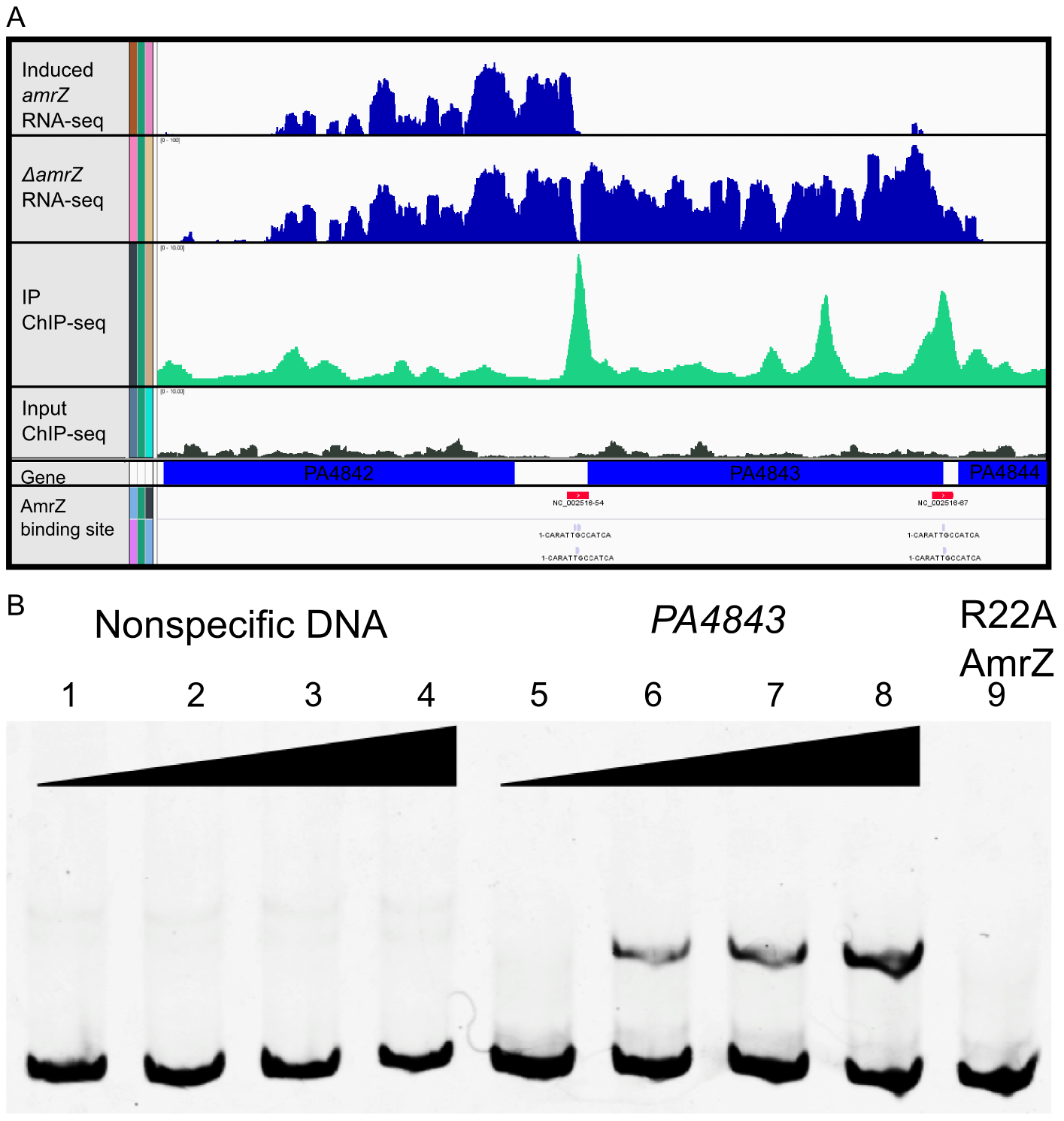 Analysis of ChIP-Seq and RNA-Seq data identifies AmrZ regulon.