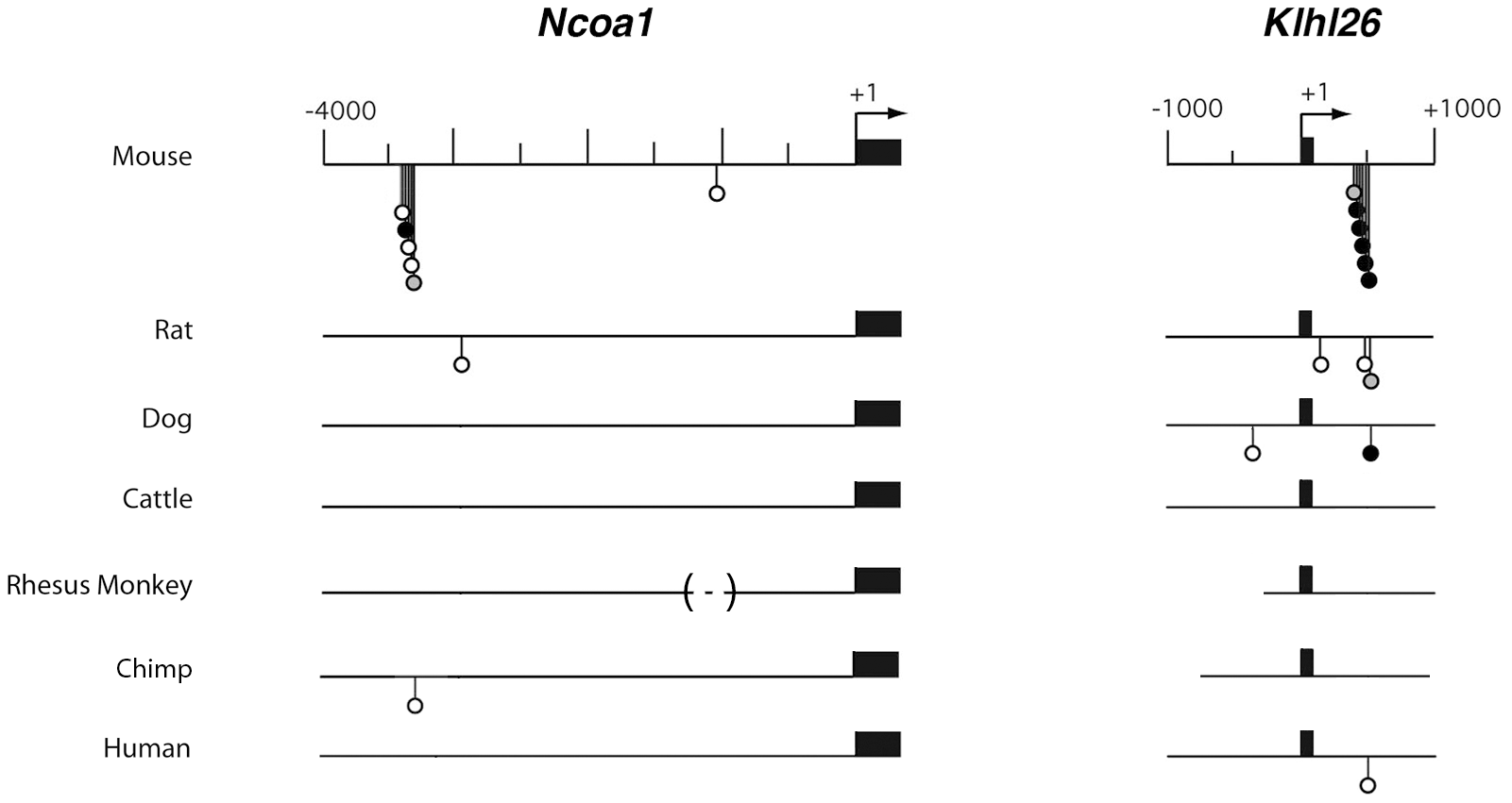 Comparative Consite analyses of <i>Ncoa1 and Klhl26</i> sequences from 7 mammalian species.