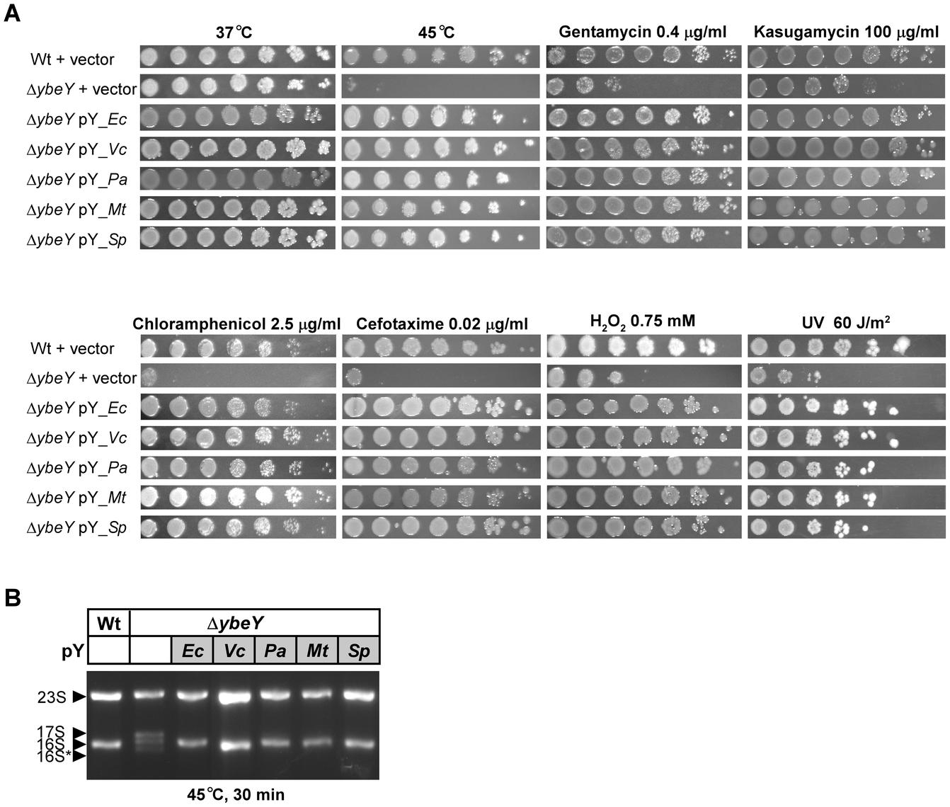 Complementation of <i>E. coli</i> Δ<i>ybeY</i> by <i>ybeY</i> of various pathogens.