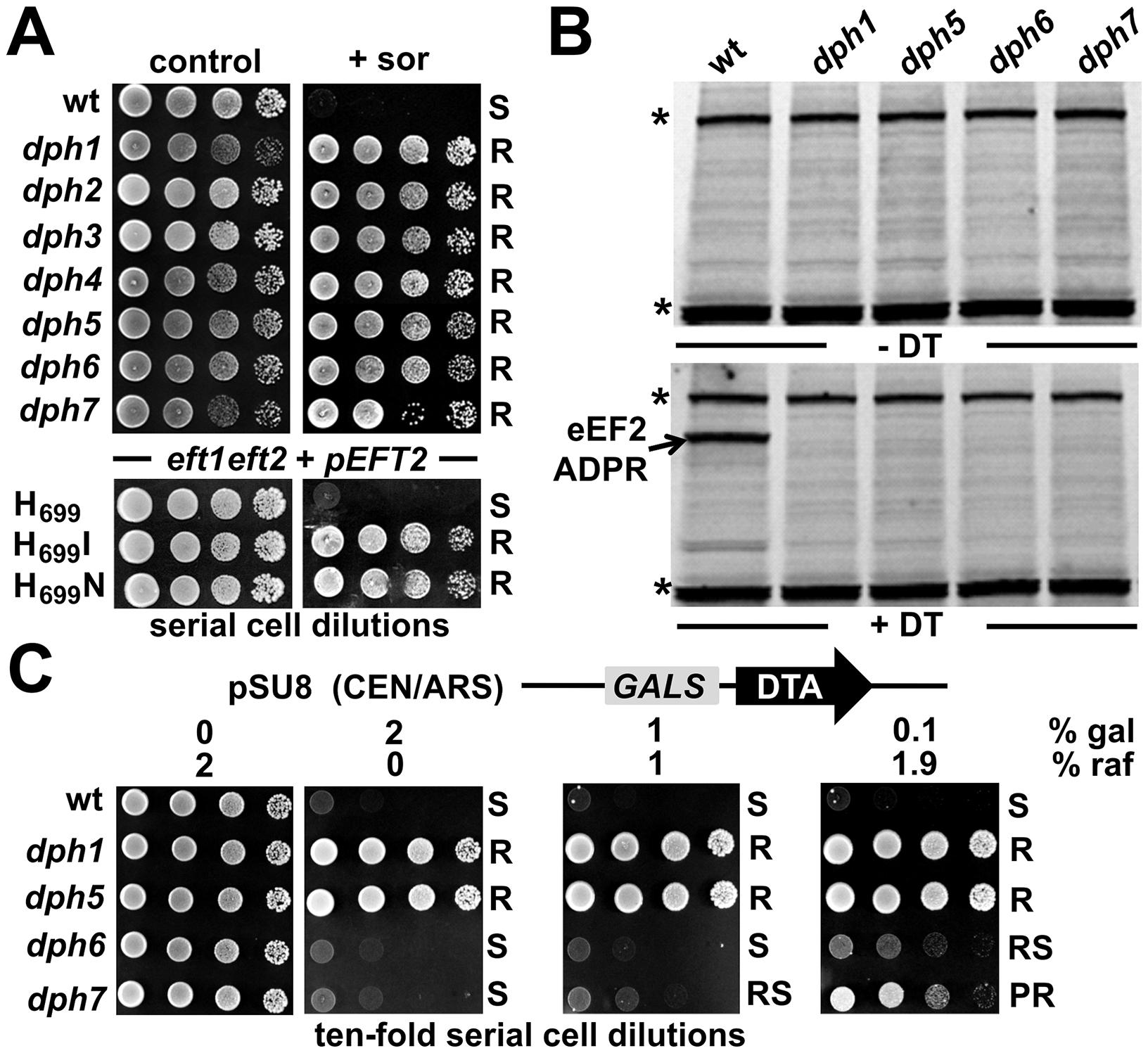 <i>DPH6</i> and <i>DPH7</i> deletion strains copy traits typically related to the <i>bona fide</i> diphthamide mutants <i>dph1-dph5</i>.