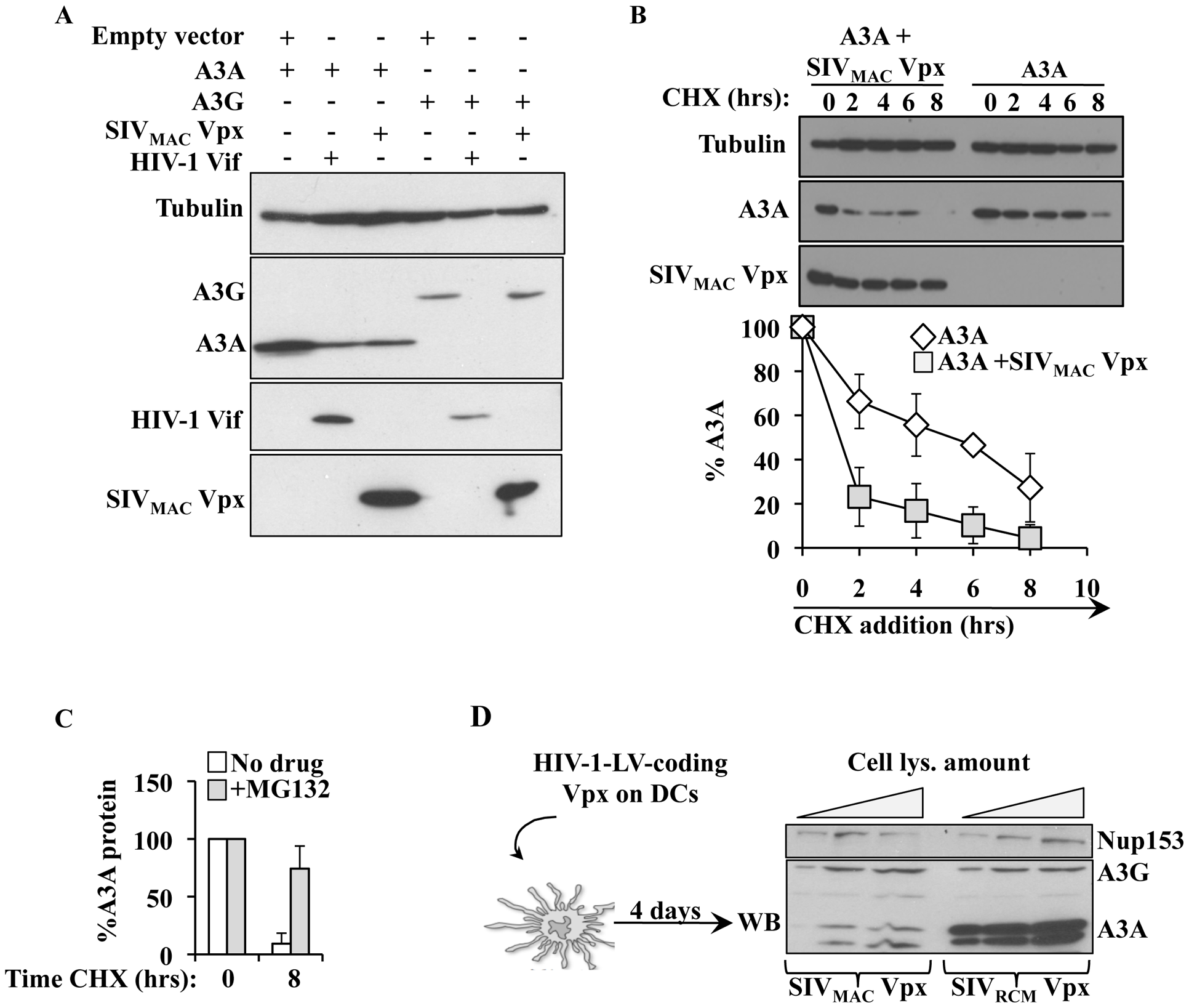 SIV<sub>MAC</sub> Vpx degrades A3A but not A3G in both HeLa cells and DCs.