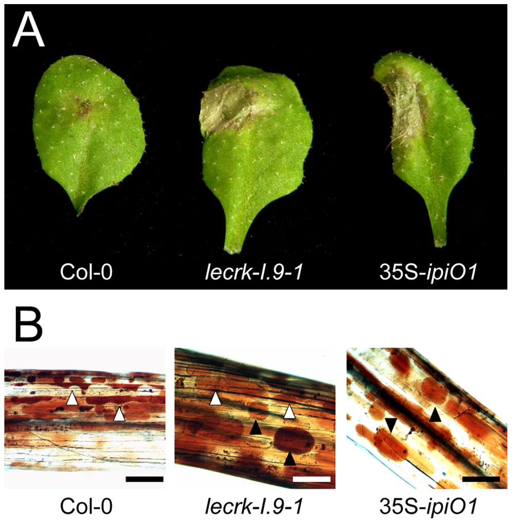 Arabidopsis <i>lecrk-I.9</i> and 35S-<i>ipiO1</i> lines are phenocopies.
