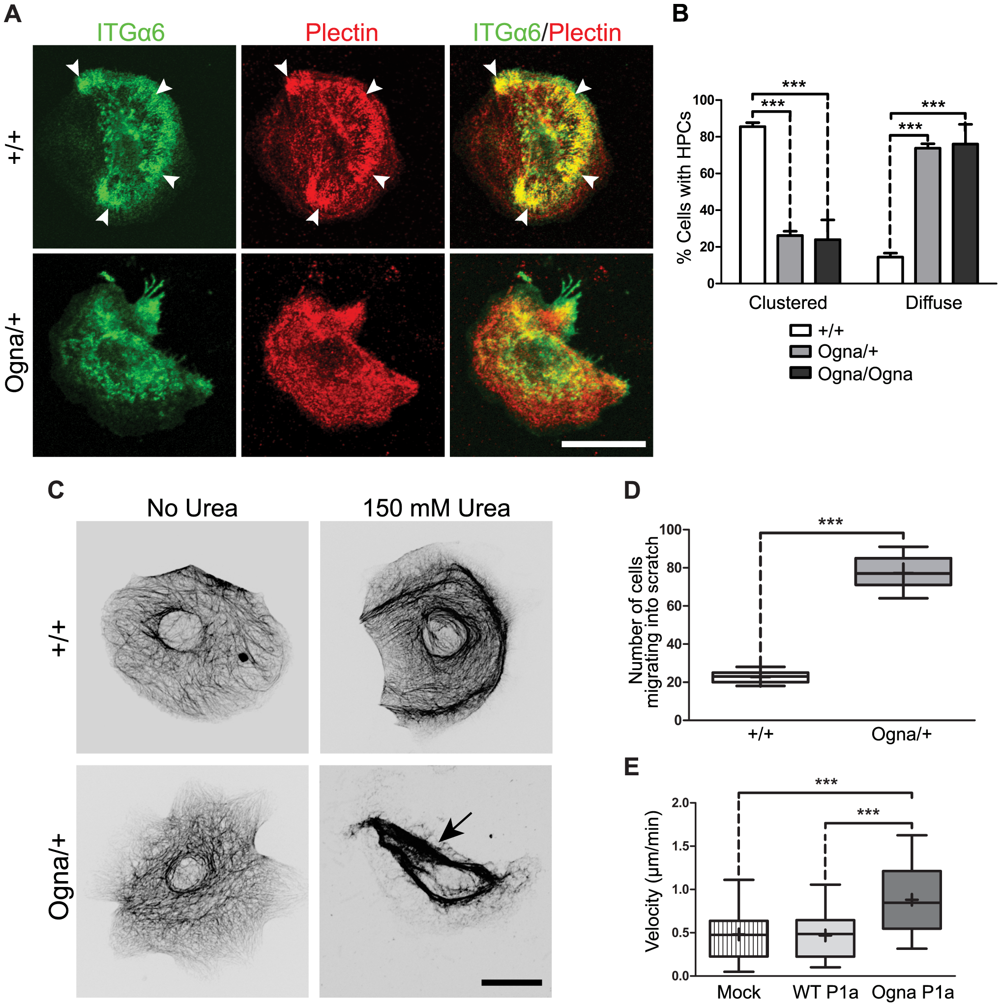 Compromised ex vivo formation and function of HPCs in Ogna keratinocytes.