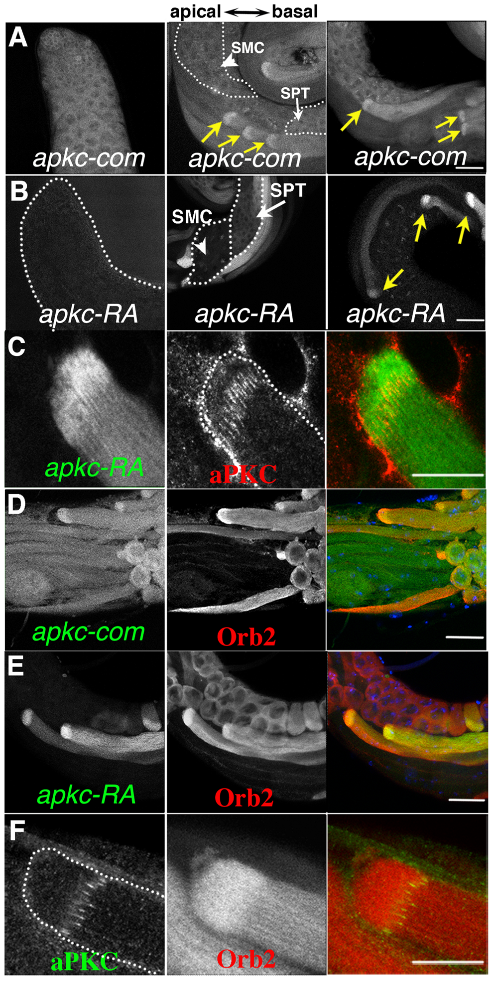 Localized accumulation of <i>apkc</i> mRNA, aPKC and Orb2 protein.