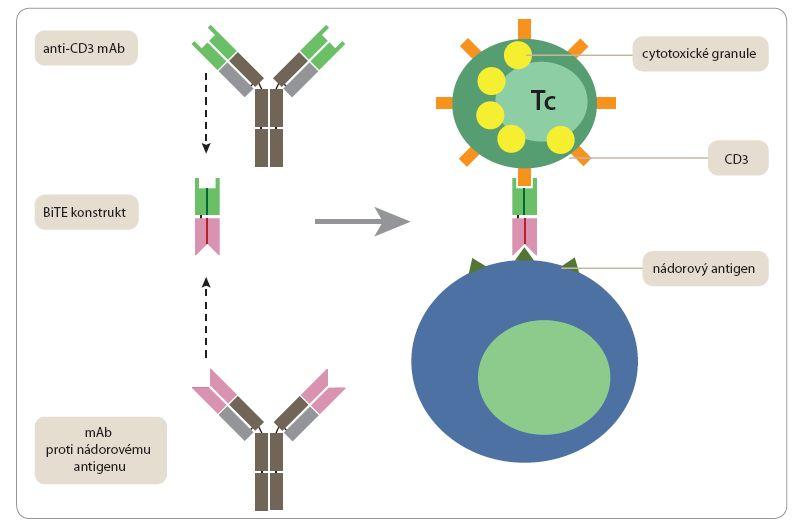Bispecifický protilátkový konstrukt BiTE typu blinatumomab.