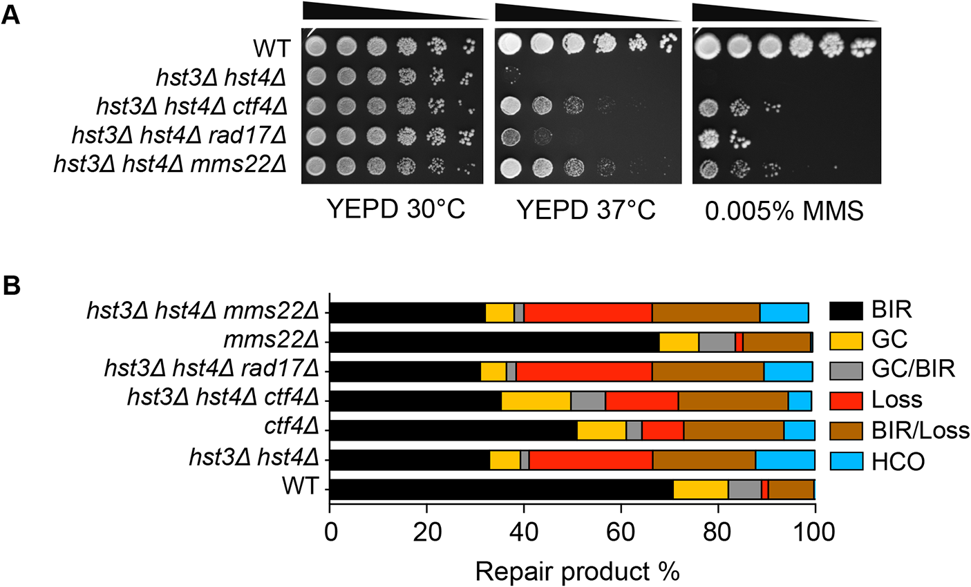 Deletion of genes improving thermo- and MMS resistance of <i>hst3</i>Δ <i>hst4</i>Δ cells does not rescue BIR defects.