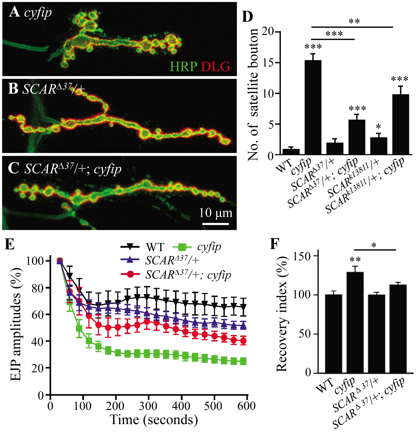 Cyfip functionally antagonizes SCAR in multiple contexts.