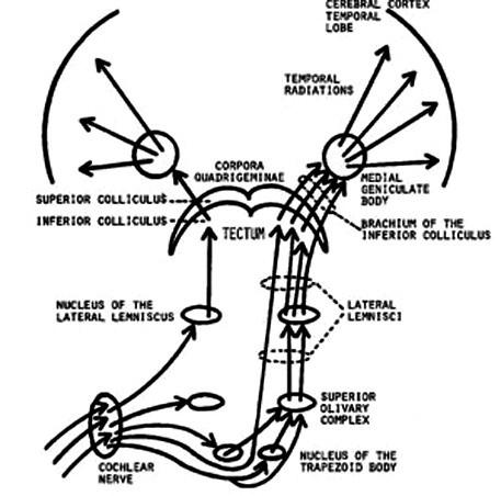 Cochlear nerve n. cochlearis Nucleus of the trapezoid body nc. corporis trapesoidei Superior olivary oliva superior Lateral lemnisci lemniscus lateralis Nuc of the lateral lemniscus nc. lemnisci lateralis  Tectum tectum Inferior collicul coliculus inferior Brachium inf coll brachium coliculi inf. Superior coll coliculus superior Corpora quadrigemina čtverohrbolí Medial geniculate corpus geniculatum mediale Temporal radiation spánková radiace Temporal lobe spánkový lalok
