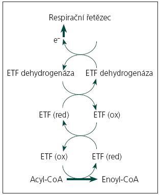 Biochemické schéma MADD. Acyl‑CoA: soubor substrátů 12 flavinových mitochondriálních dehydrogenáz (acyl‑CoA dehydrogenázy β-oxidační spirály, acyl‑CoA dehydrogenázy některých aminokyselin, protoporfyrinonogen oxidáza). Enoyl-CoA: soubor produktů reakcí katalyzovaných výše uvedenou skupinou enzymů. ETF (ox): elektrony přenášející flavoprotein, oxidovaná forma. ETF (red): elektrony přenášející flavoprotein, redukovaná forma. ETF dehydrogenáza: elektrony přenášející flavoprotein: ubichinon oxidoreduktáza – ETF:QO, některé z mutací tohoto enzymu vedou k riboflavin respozivní formě MADD e<sup>–</sup>: elektrony přenášené prostřednictvím koenzymu Q10 (ubichinonu) do respiračního řetězce.