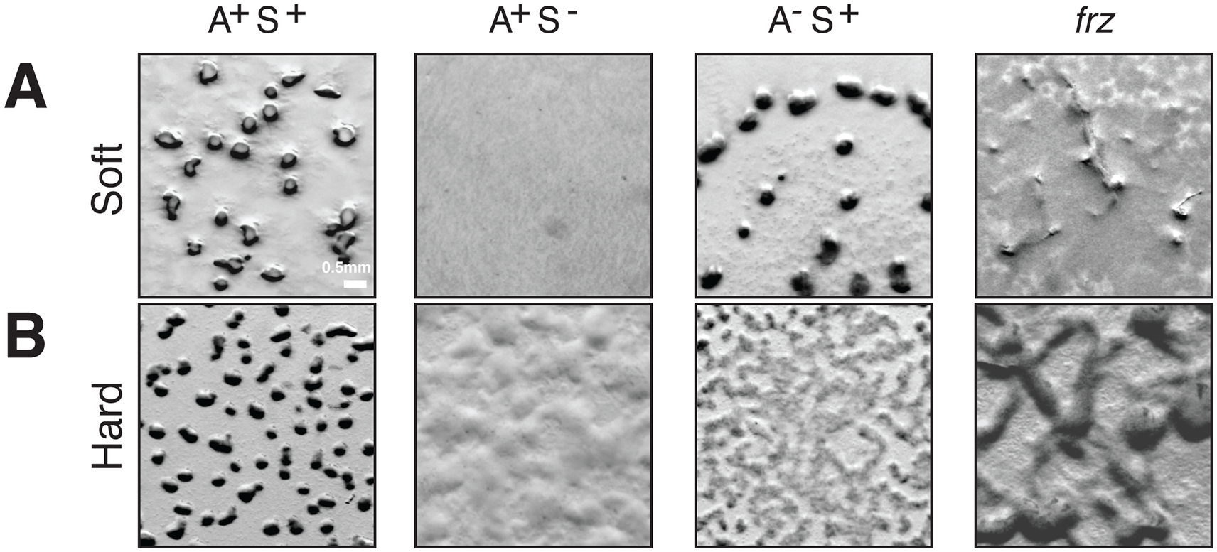 A- and S-motility diversify the repertoire of <i>Myxococcus</i> multicellular behaviors.