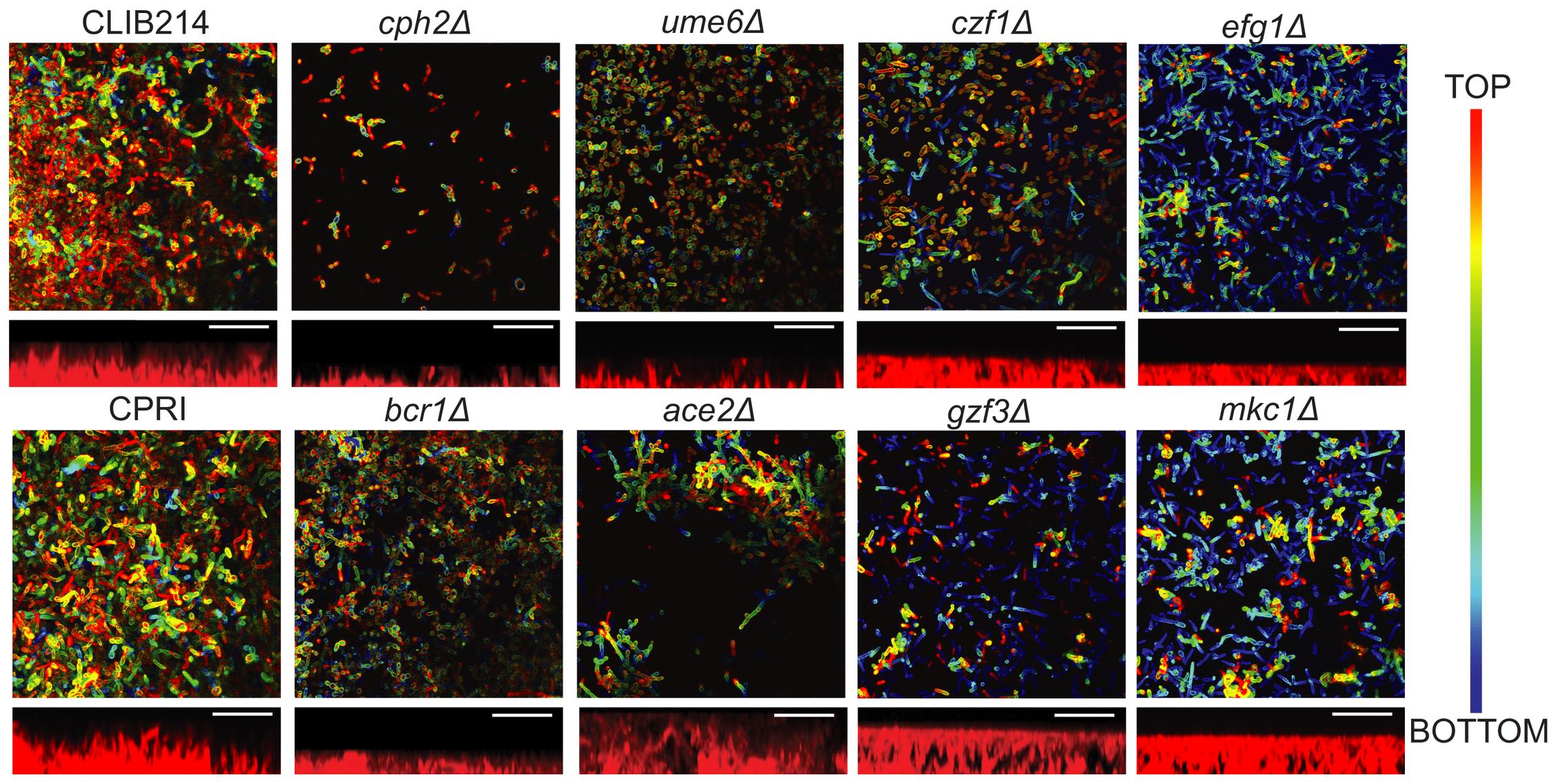 Deleting regulators alters biofilm structure of <i>C. parapsilosis</i>.