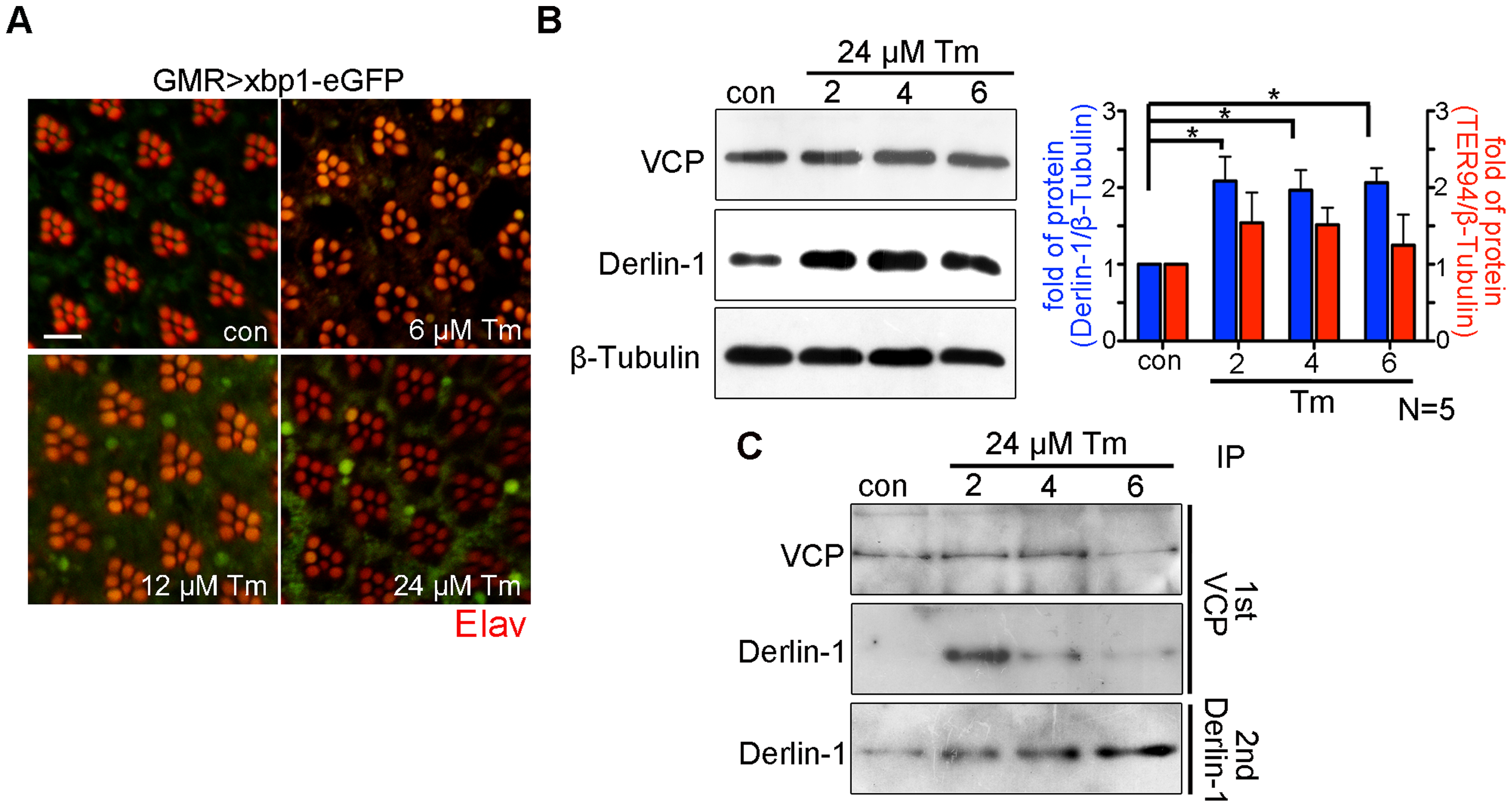 Prolonged ER stress increases Derlin-1 proteins that are not bound to TER94.