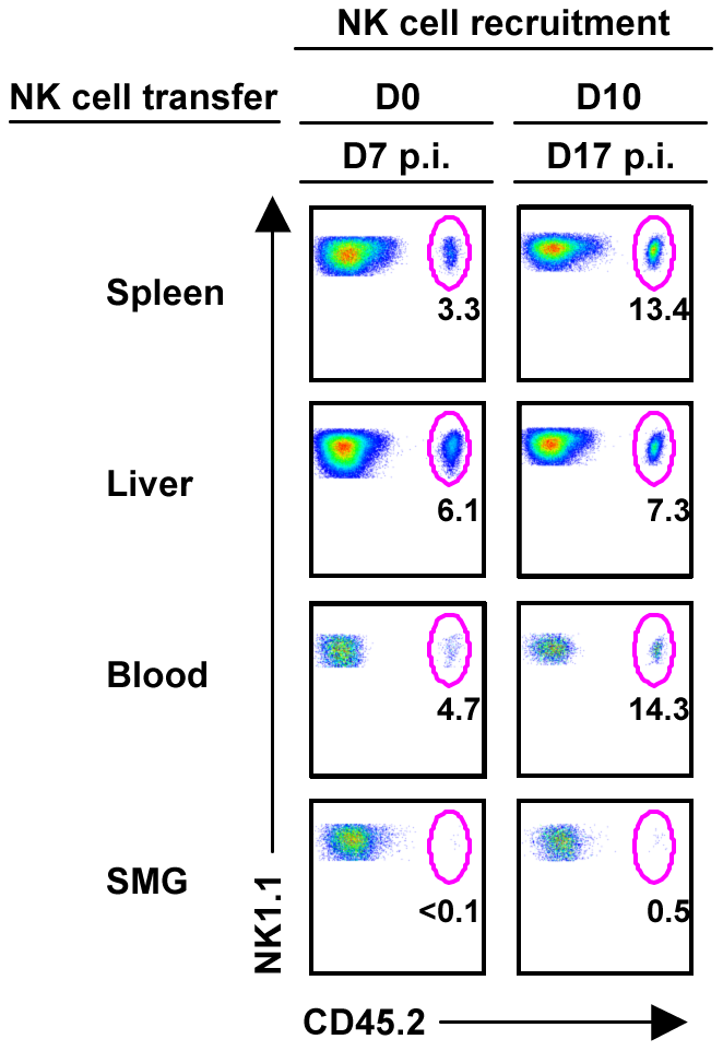 NK cells from the periphery are not recruited to the SMG during MCMV infection.