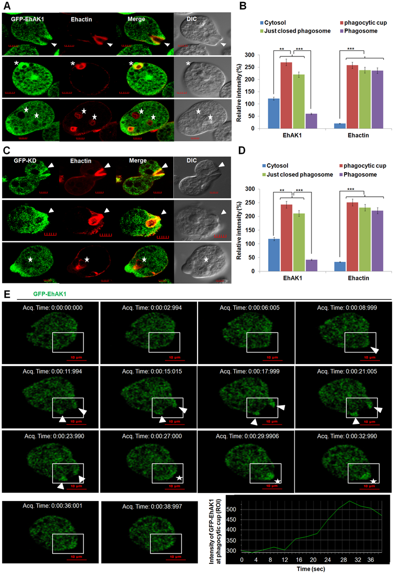 <i>In vivo</i> localization of GFP-EhAK1 in phagocytosing cells.