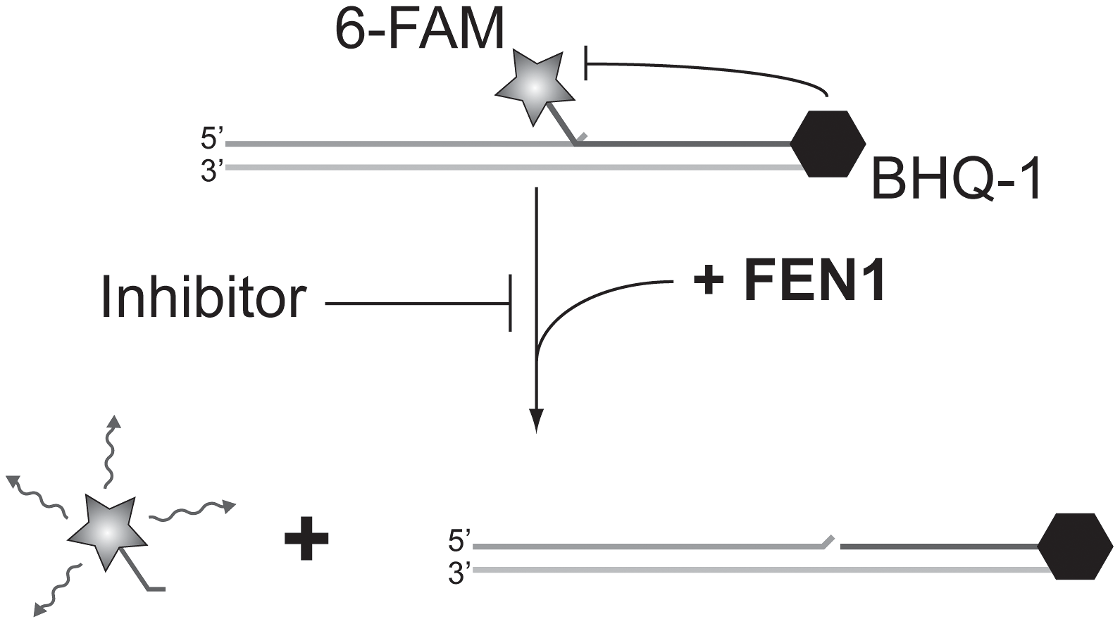 Screening for FEN1 inhibitors <i>in vitro</i>.