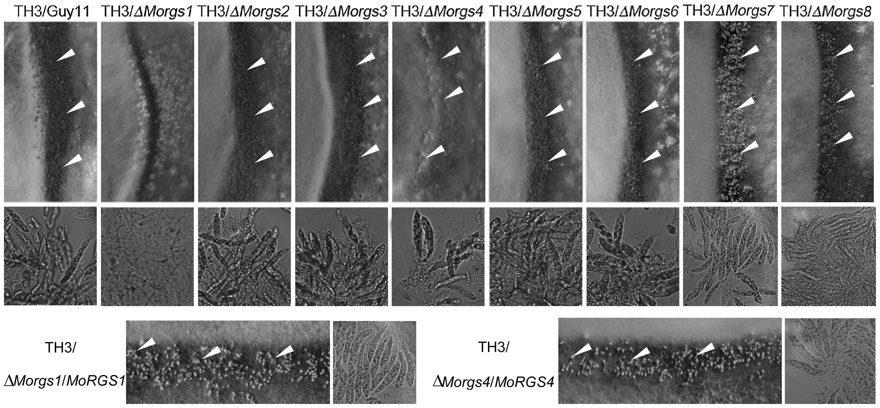 MoRgs1 and MoRgs4 are involved in sexual reproduction in <i>M. oryzae</i>.