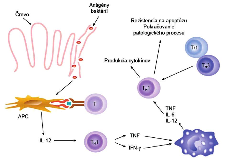 Imunopatogenéza Crohnovej choroby Mikroorganizmy alebo ich produkty prechádzajú cez intestinálnu bariéru a dostávajú sa do submukózy. Tu ich zachytia a spracujú bunky prezentujúce antigén (APC) a prezentujú naivným T-pomocným lymfocytov (T). APC súčasne produkujú IL-12, pod ktorého vplyvom sa naivné T-lymfocyty diferencujú do T<sub>H</sub>1-subpopulácie. T<sub>H</sub>1-lymfocyty syntetizujú TNF a IFN-γ, ktoré následne aktivujú makrofágy. Navyše T<sub>H</sub>1-lymfocyty sa stávajú rezistentnými na apoptózu a na imunosupresívnu aktivitu regulačných T-lymfocytov Tr1 a T<sub>H</sub>3, čo všetko spôsobuje, že sa zápalový proces ďalej rozvíja.  (podľa Neurath et al., Trends Immunol 2001; 22: 21-6, modifikované) Figure 3. Immunopathogenesis of Crohn's disease Microorganisms or their products pass through the intestinal barrier into the submucosa. There, they are detected and processed by antigen-presenting cells (APC) to be presented to naïve T-helper cells. At the same time, APC produce IL-12, due to which naïve T cells differentiate to form the T<sub>H</sub>1 subpopulation. T<sub>H</sub>1 cells synthesize TNF and IFN-γ, which activate macrophages. Moreover, T<sub>H</sub>1 cells become resistant to apoptosis and to immunosuppressive activity of regulatory T cells, Tr1 and T<sub>H</sub>3, all of which further aggravates the inflammatory process. (adapted from Neurath et al., Trends Immunol 2001; 22: 21–26)