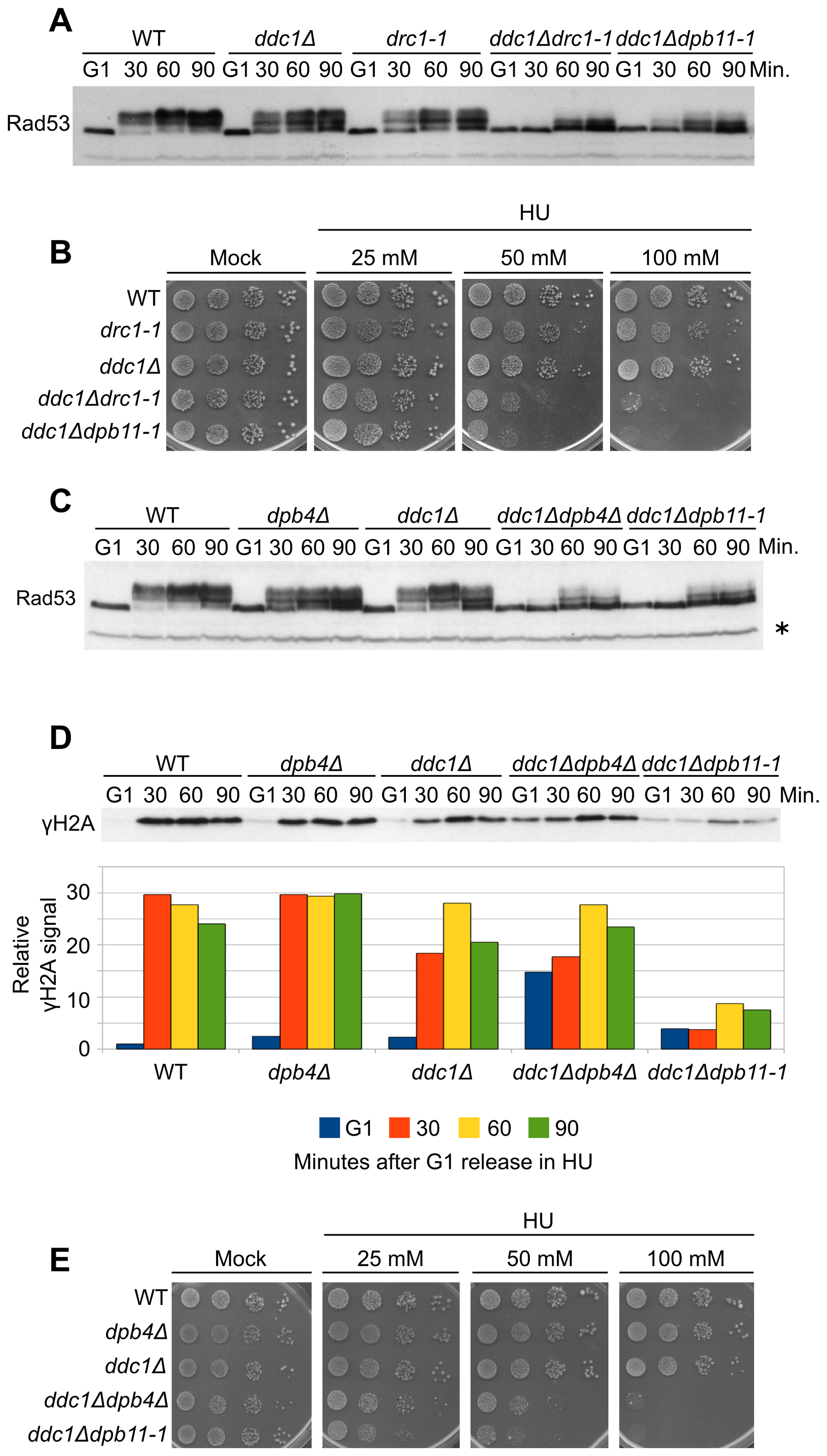 Polε associated proteins are involved in the 9-1-1–independent checkpoint signaling branch.