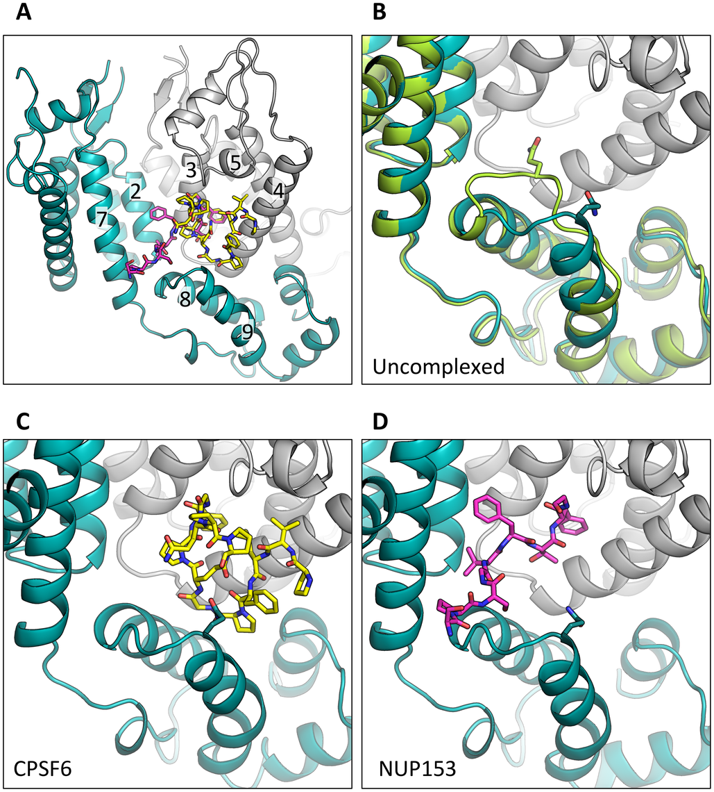 CPSF6 and NUP153 bind a multi-subunit interface in HIV-1 hexamer.