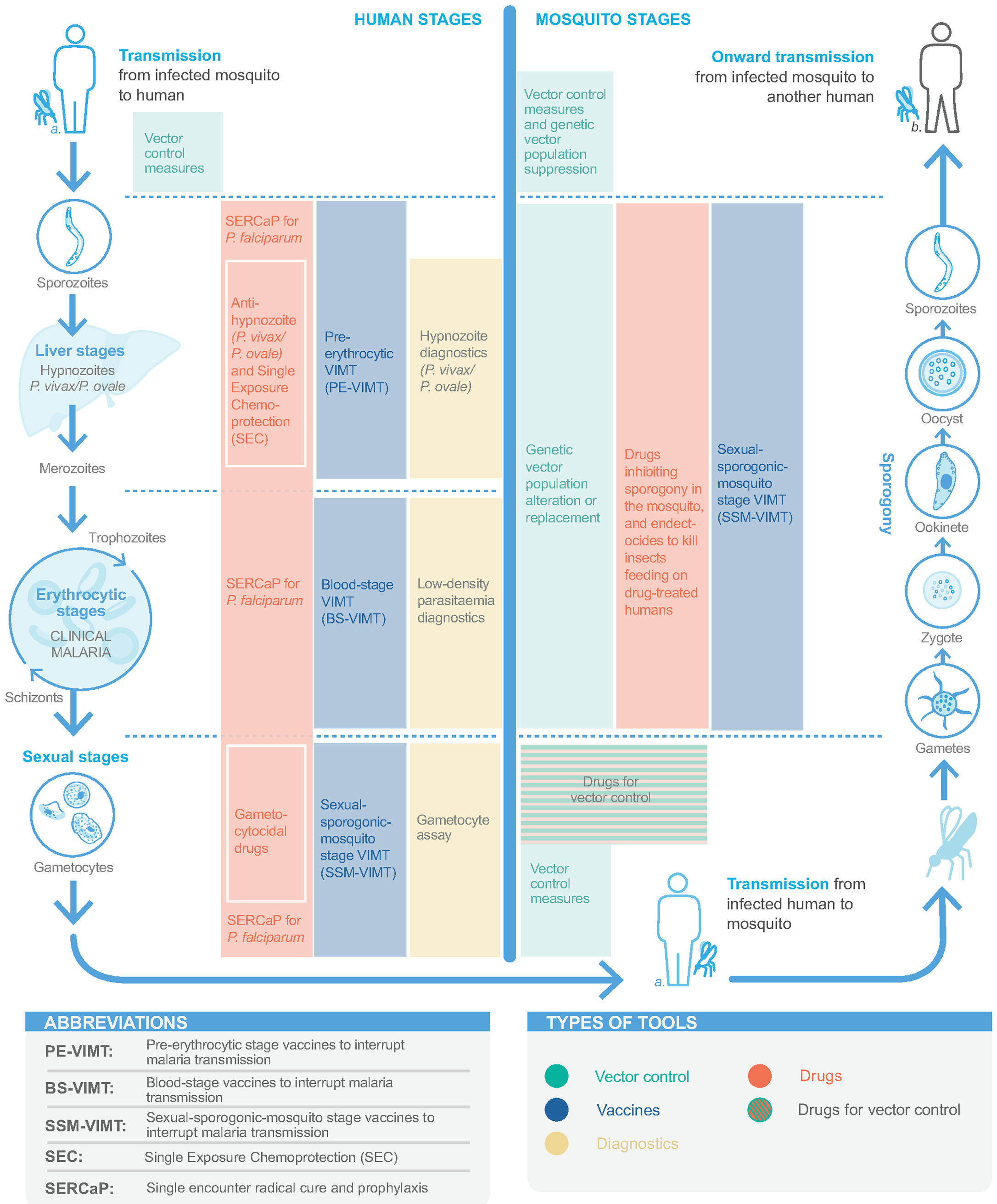 Tools for detecting and interrupting malaria transmission and their action in the malaria transmission cycle.