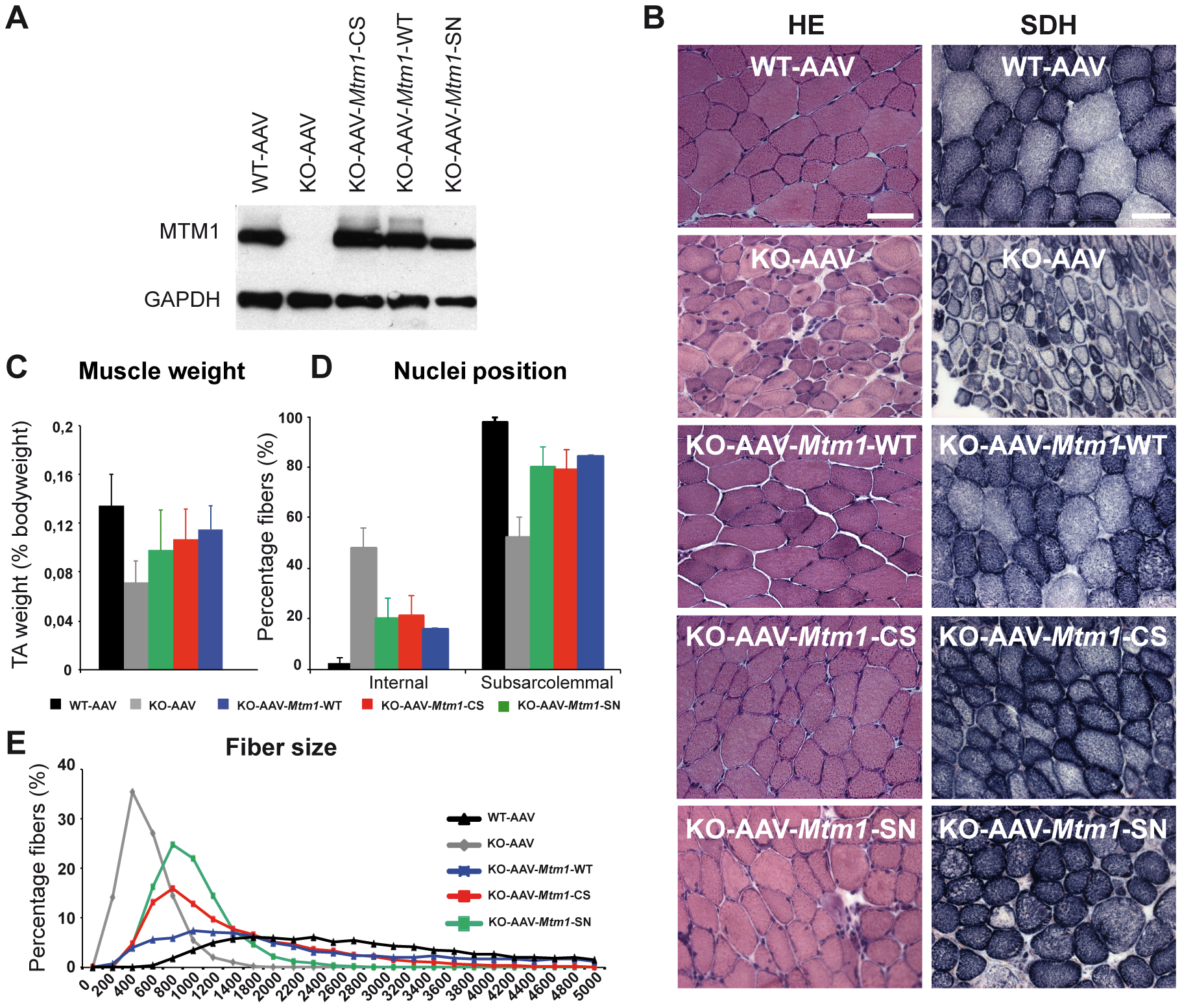 Amelioration of muscle atrophy and fiber hypotrophy in a murine model of centronuclear myopathy by AAV–mediated expression of two phosphatase-inactive myotubularin mutants MTM1<sup>C375S</sup> and MTM1<sup>S376N</sup>.