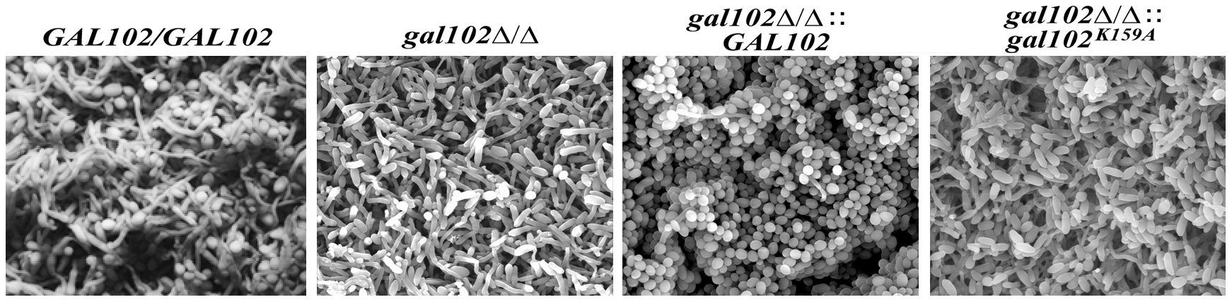 Biofilm structure and diffusion properties are seriously compromised in <i>C. albicans</i> lacking <i>GAL102</i>.