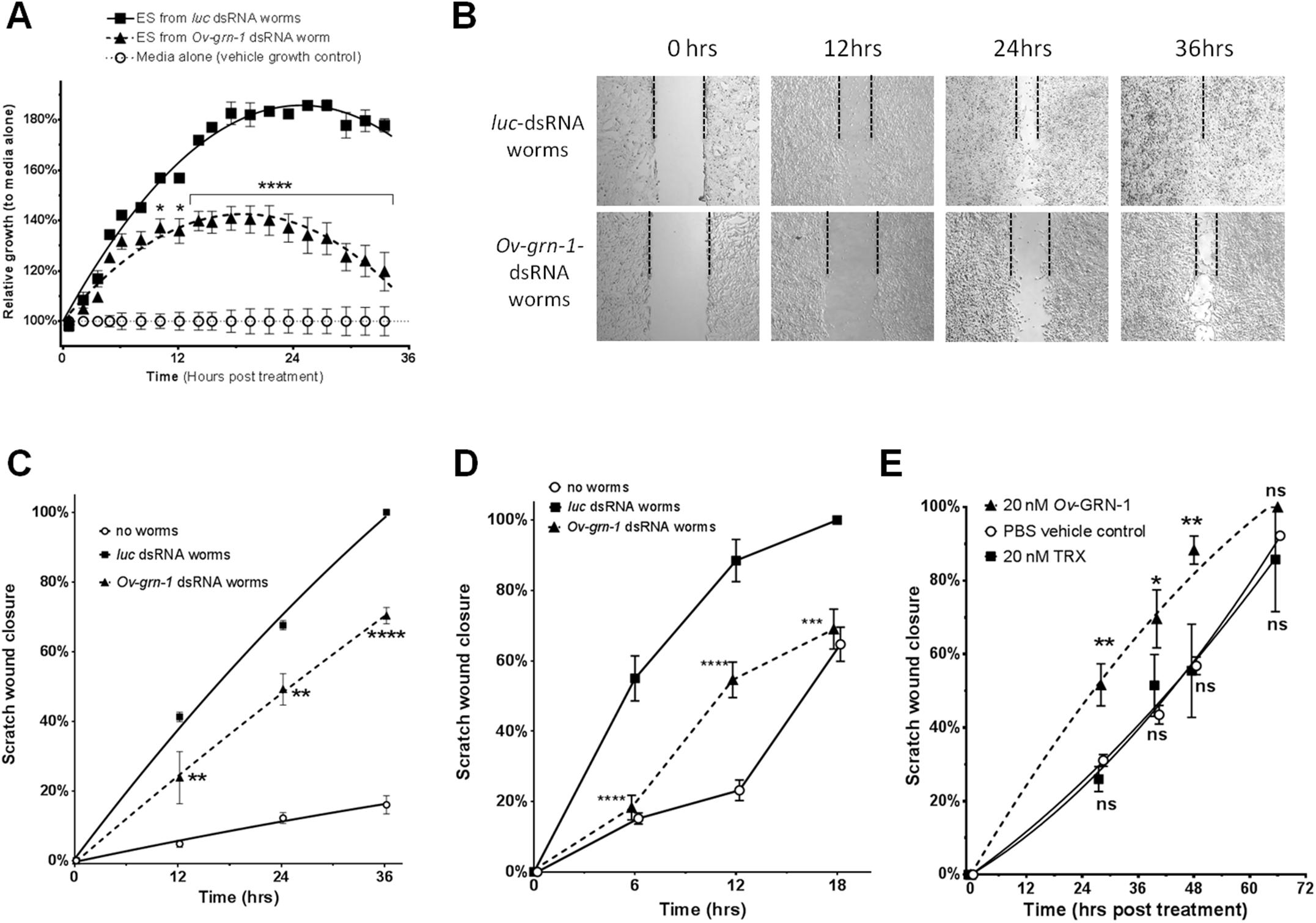 <i>Ov-</i>GRN-1 stimulated wound repair <i>in vitro</i>.