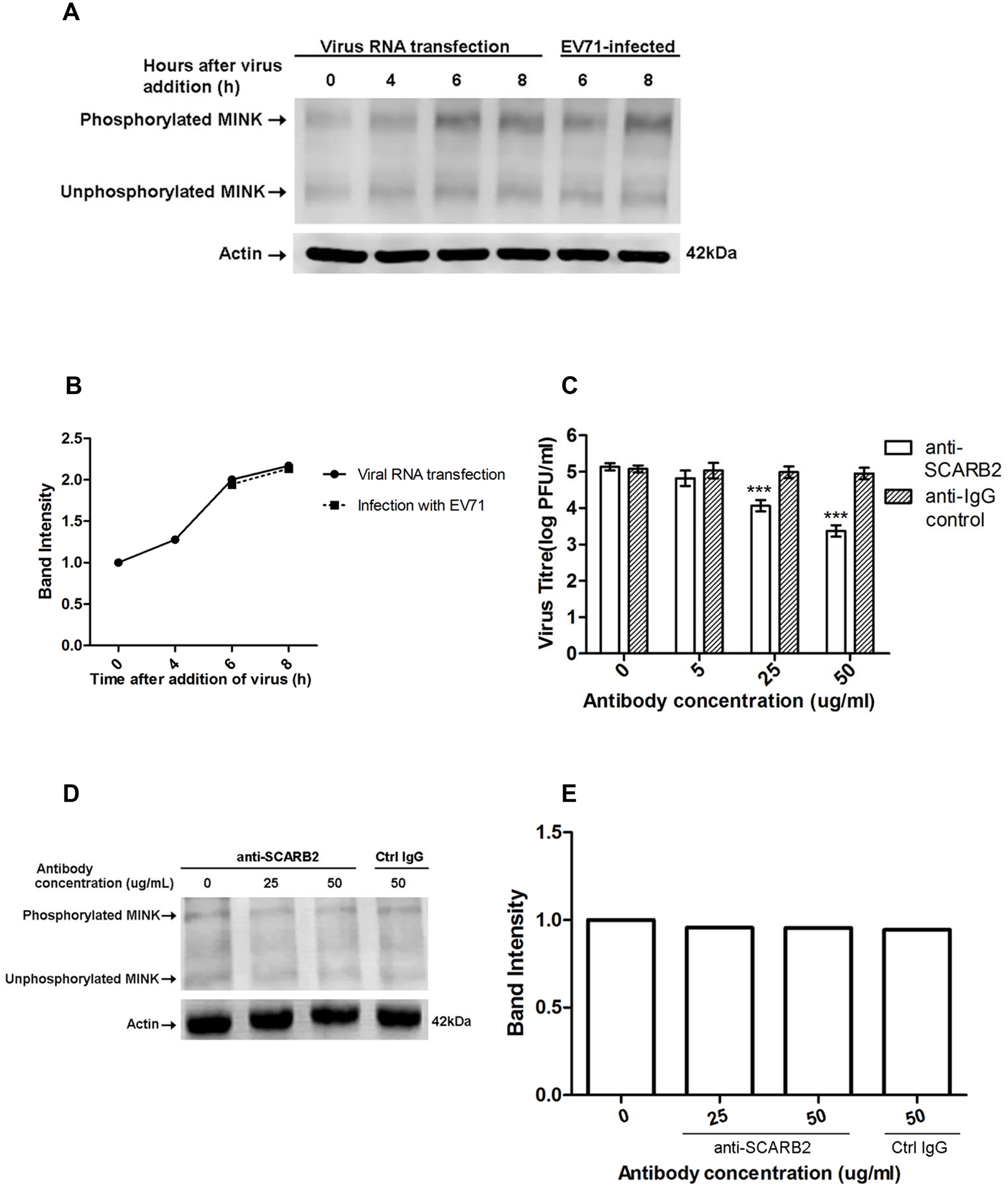 Phosphorylation of MINK is triggered post-entry by early replication events.