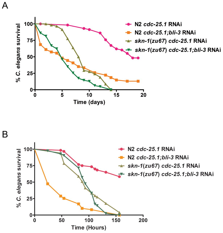 Epistasis analysis of <i>skn-1</i> and <i>bli-3.</i>