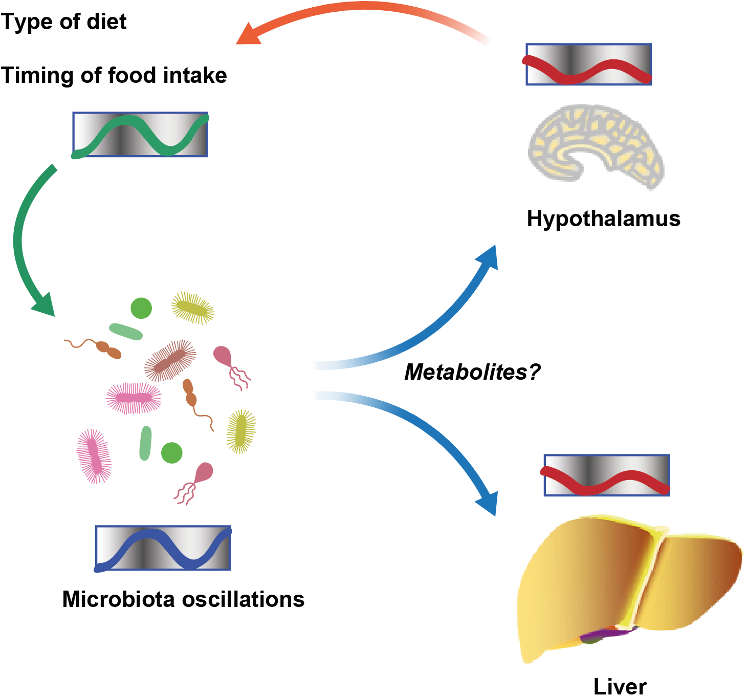 Schematic showing diurnal cross talk between host and intestinal microbiota.