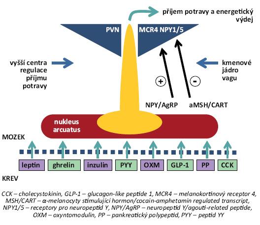 Shrnutí funkčního modelu periferní a centrální regulace energetické homoeostázy. Periferní signály, jako leptin, ghrelin, peptid YY (PYY), oxyntomodulin (OXM), glukagon-like peptid 1 (GLP-1), cholecystokinin (CCK), pankreatický polypeptid (PP) a další peptidy procházejí hematoencefalickou bariérou a váží se v oblasti nucleus arcuatus (ARC) na své receptory, čímž regulují syntézu hlavních orexigenních působků (neuropeptidu Y/agouti-related peptide, NPY/AgRP), resp. anorexigenních působků (α-melanocyty stimulující hormon/cocain-amphetamine regulated transcript, MSH/CART), které projikují do dalších hypotalamických jader, a ovlivňují tak příjem potravy, resp. energetický výdej a udržují stabilní hmotnost [8].